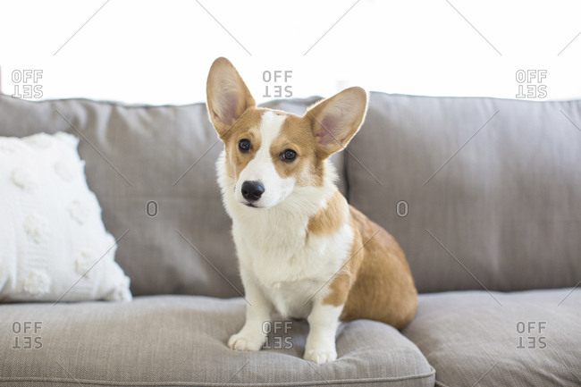 Portrait of Welsh Corgi sitting on sofa at home