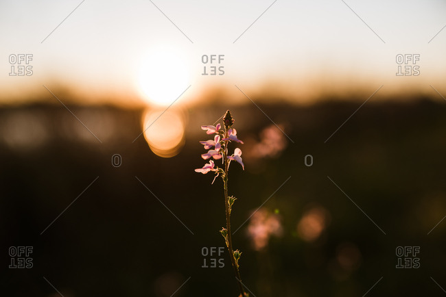 Delicate flower backlit by setting sun
