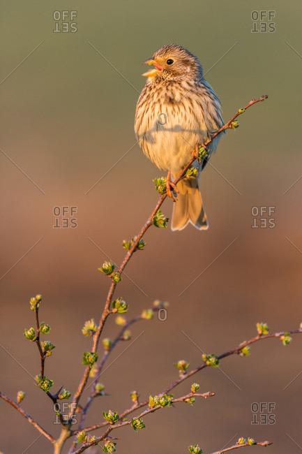 Corn bunting (Miliaria calandra) adult, calling, Kent, England, United Kingdom, Europe