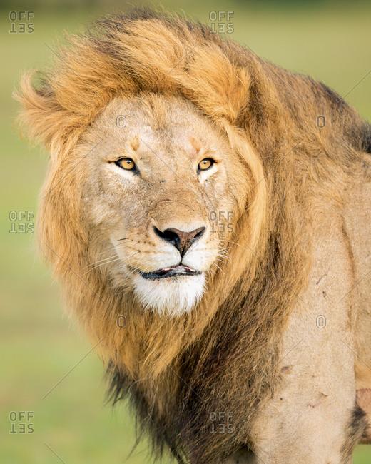 Male lion (Panthera leo), Masai Mara, Kenya, East Africa, Africa
