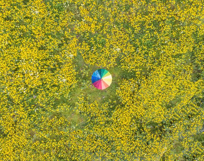 Aerial view of rainbow umbrella in the beautiful dandelion flower field in Fokida, Greece