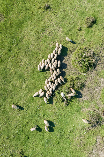 Aerial view of flock of sheep at beautiful Karditsa region, Greece