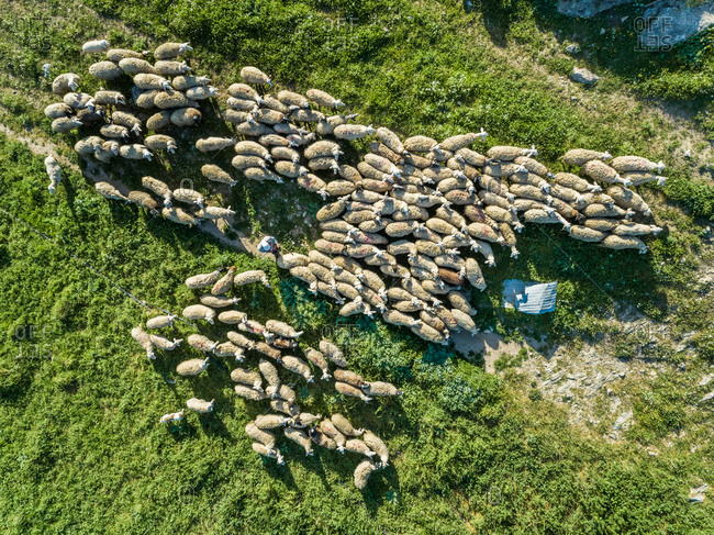 Aerial view of herd of sheep with a shepherd at beautiful Karditsa region in Greece