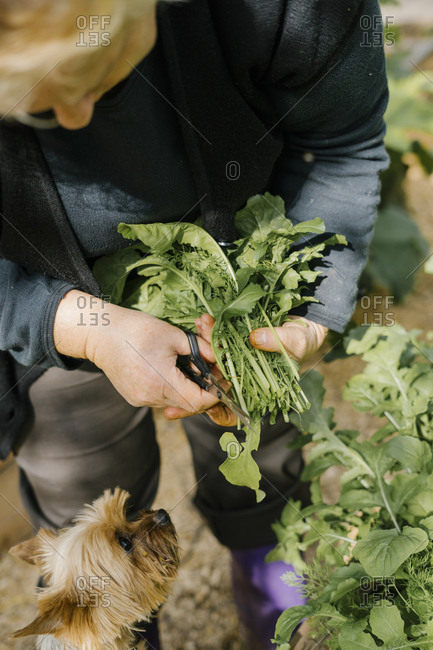 Person harvesting arugula from a garden