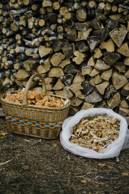 Fresh picked mushrooms in front of stacked firewood