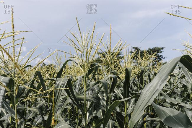 Cornstalks in a rural field