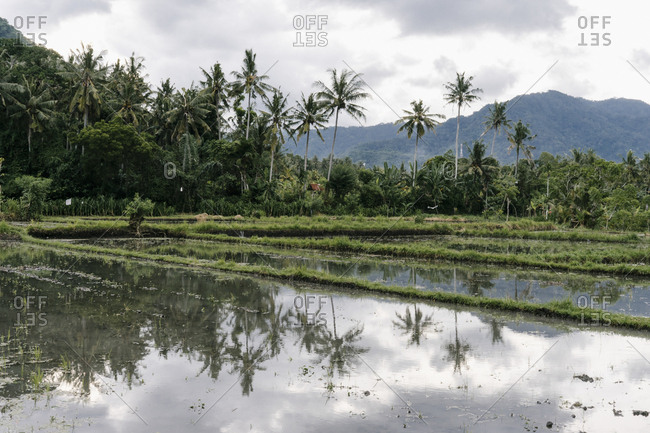 Palm trees reflecting in rice field in Bali, Indonesia