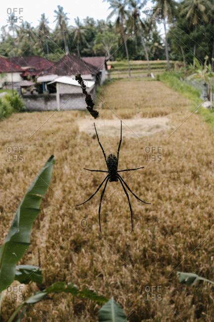 Spider on a web in Bali, Indonesia