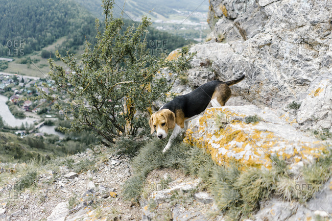 Dog climbing on a hill in Krasnoyarsk, Russia
