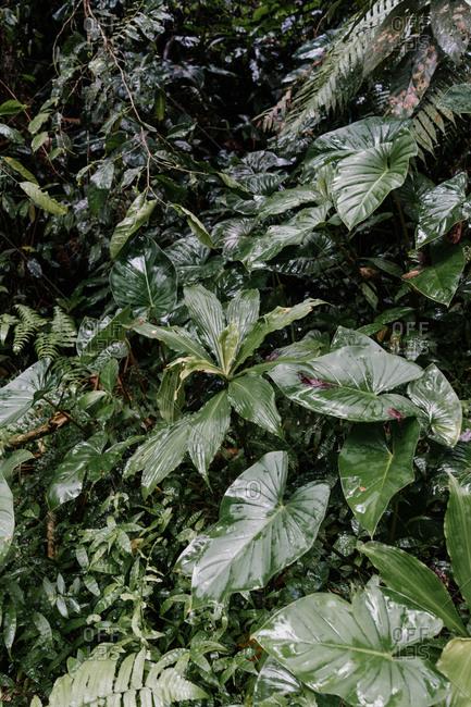 Green wet leafy plants growing in Bali