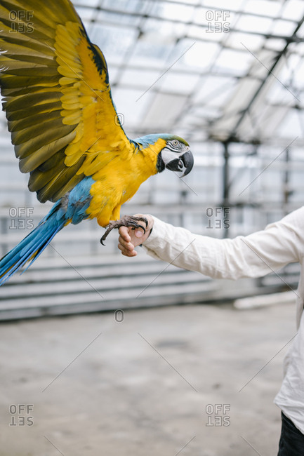 Blue and gold macaw landing on a persons hand