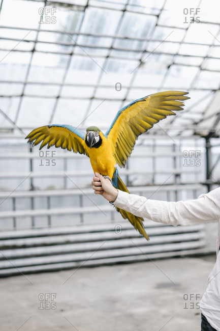 Blue and gold macaw perched on a persons hand