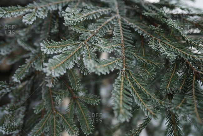 Branch of fir tree