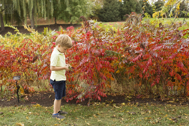 Young boy, outside, looking at leaves while standing in front of red leaves