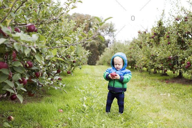 Toddler looking at an apple in an orchard