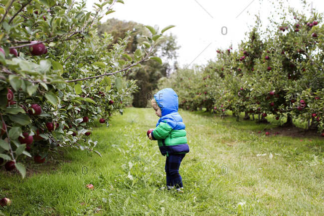 Toddler searching for apples in an orchard