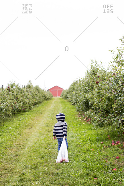 Child dragging a heavy bag of apples towards a barn in an orchard