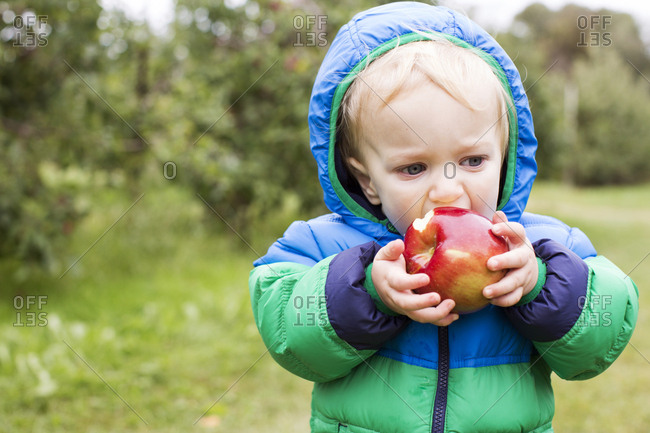 Toddler eating a large apple at an orchard