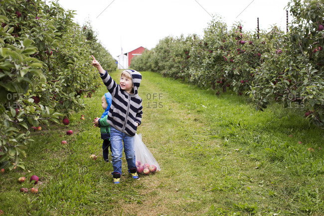Two young brothers searching for apples at an orchard