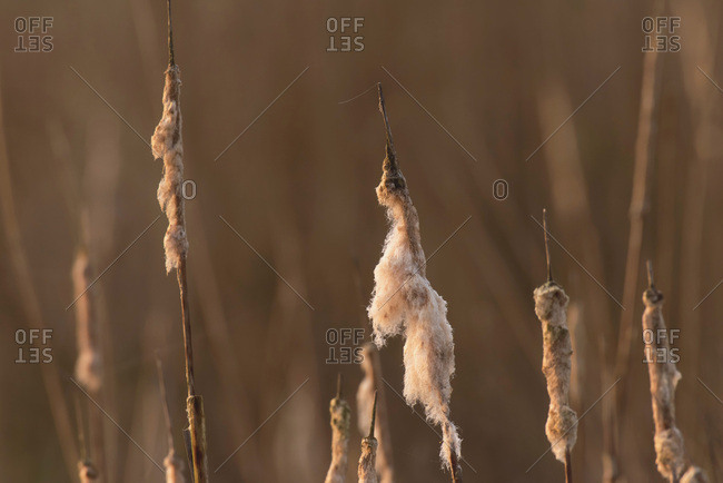 Plumes of cattail backlit by morning sunlight.