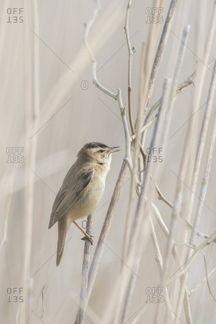 Singing sedge warbler (Acrocephalus schoenobaenus) perched on reed.