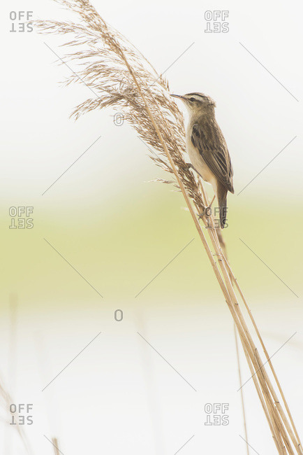 Sedge warbler (Acrocephalus schoenobaenus) sitting on reed stem.