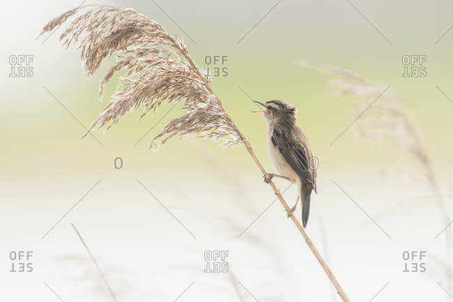 Calling sedge warbler (Acrocephalus schoenobaenus) sitting on reed stem.