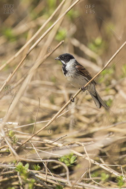 Male common reed bunting (Emberiza schoeniclus) perched on reed.