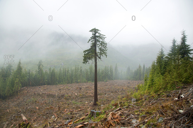 Single seed tree left in clear-cut logging area on Vancouver Island