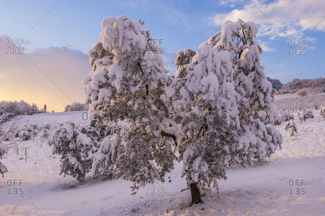 Italy, Tuscany, Certaldo . olive tree under the snow at Lucardo. Olive tree is a Mediterranean plant sensitive to the cold, produces a precious halo very important for the agricultural economy of Tuscany
