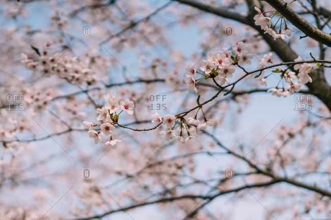 Cherry blossoms, Jejune Island, Korea