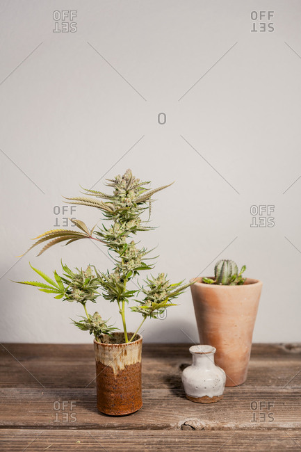 Close-up of cannabis plant on wooden table