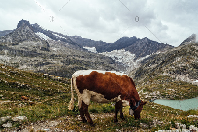 Side view of cow grazing on field against mountains and cloudy sky