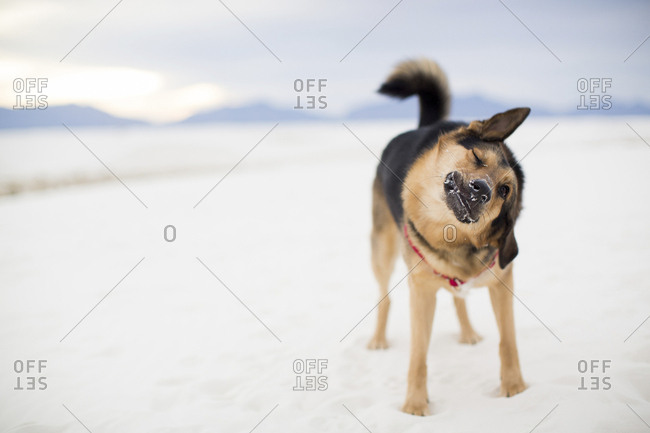 Full length of dog shaking while standing on desert at White Sands National Monument