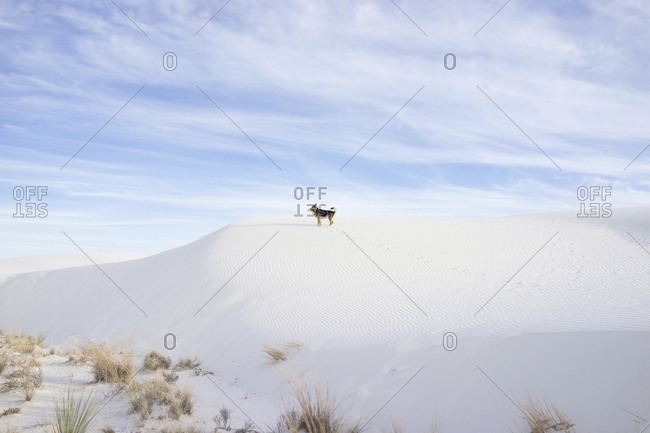 Mid distance view of dog standing on desert against cloudy sky at White Sands National Monument