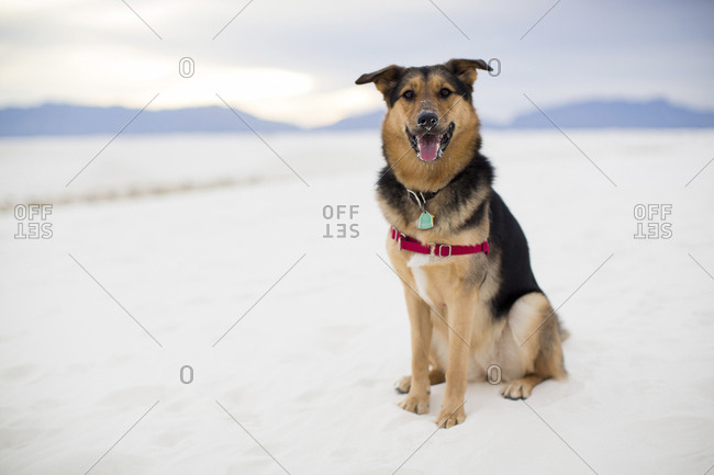 Full length portrait of dog panting while sitting on desert at White Sands National Monument