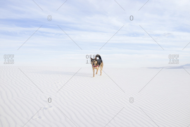 Dog walking on desert against cloudy sky at White Sands National Monument