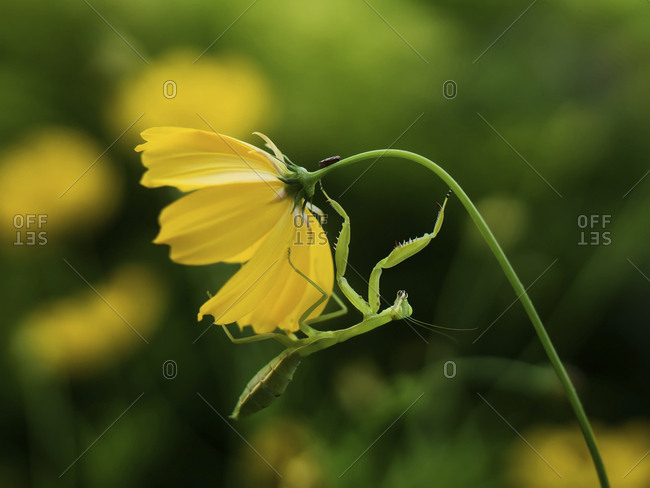 Close-up of mantis on cosmos flower