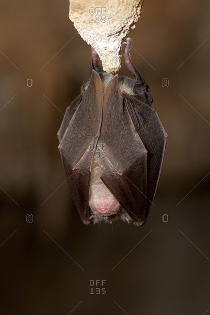Bat sleeping while hanging on rock in cave