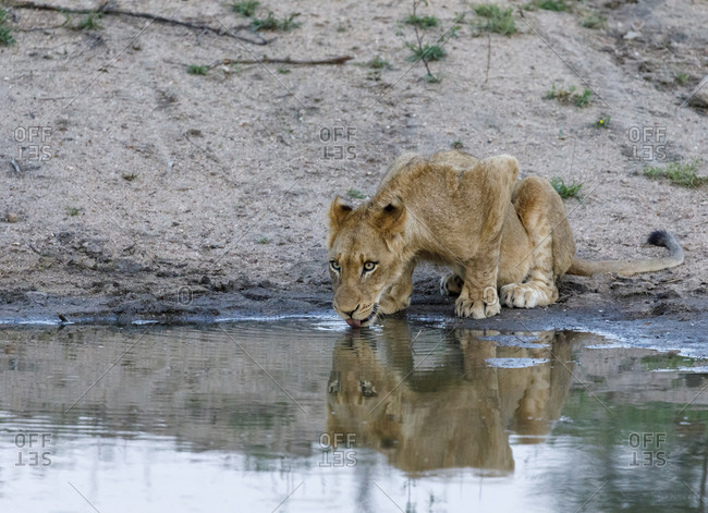 Lion cub drinking water from waterhole at Sabie Park