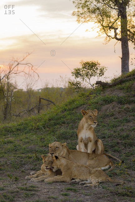 Pride of lions sitting on field at Sabie Park during sunset