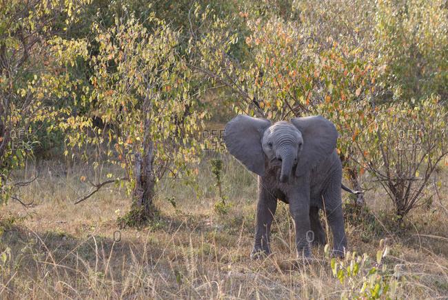 Elephant calf standing on grassy field