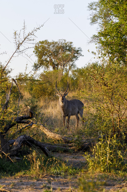Waterbuck standing on field amidst plants at Sabie Park