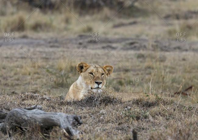 Lioness sitting on field at Maasai Mara National Reserve