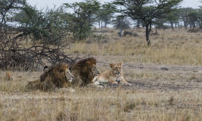Lions sitting on grassy field at Maasai Mara National Reserve