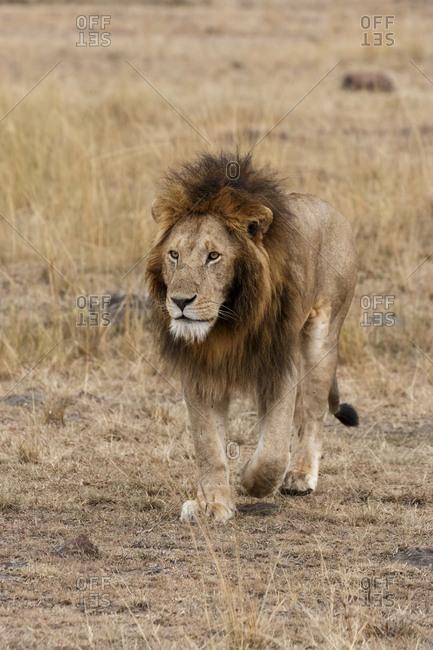Lion walking on field at Maasai Mara National Reserve