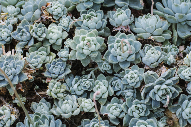 Echeveria plants growing outdoors