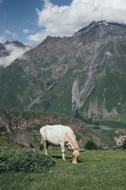 Cow grazing in mountain landscape