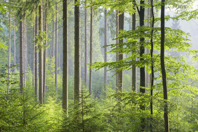 European Beech (Fagus sylvatica) Forest on Misty Morning, Spessart, Bavaria, Germany