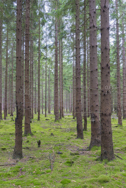 Spruce Forest, Odenwald, Hesse, Germany